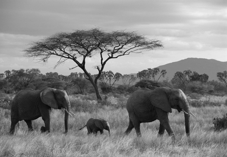 African elephant family on the move at dusk and acacia tree, Samburu National Reserve, Kenya