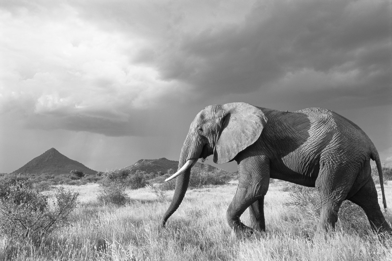 African elephant on the move in storm light, Samburu National Reserve, Kenya