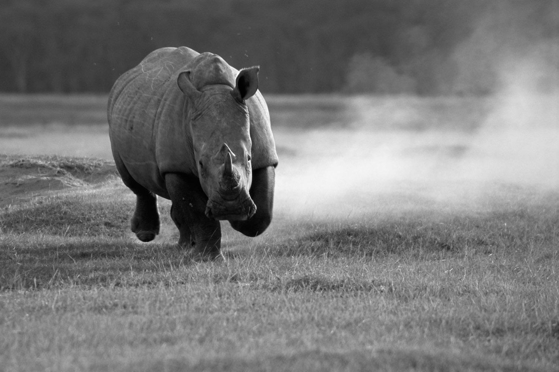White rhinoceros charging, Lake Nakuru National Park, Kenya