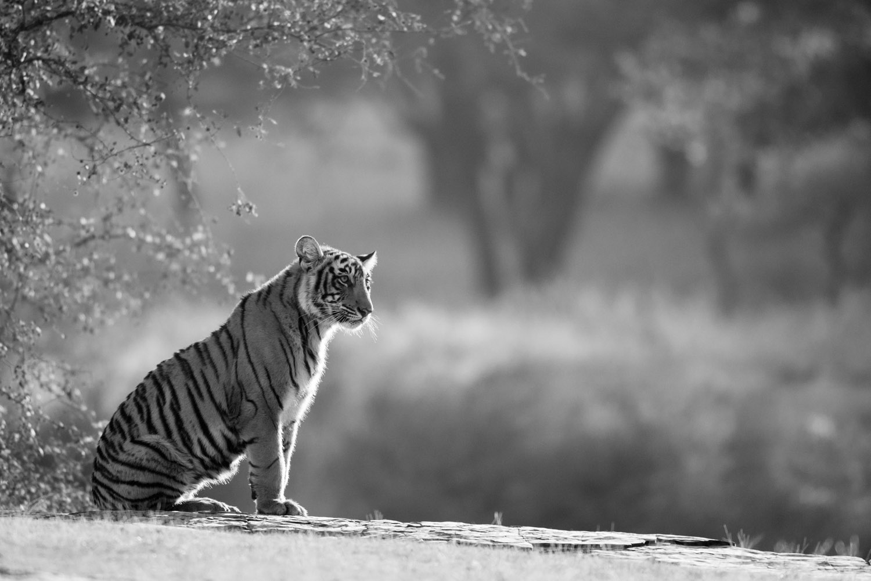 Bengal tiger cub sitting on rocky ledge, Ranthambhore National Park, Rajasthan, India