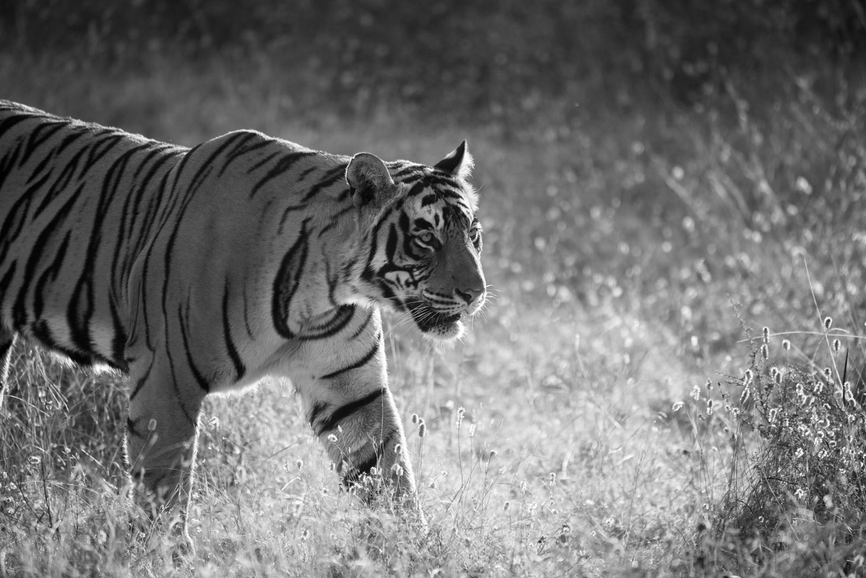 Bengal tiger on the move, Ranthambhore National Park, Rajasthan, India