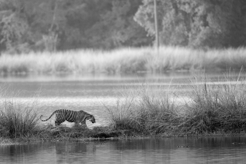 Bengal tigress on island in Lake Rajbagh, Ranthambhore National Park, Rajasthan, India