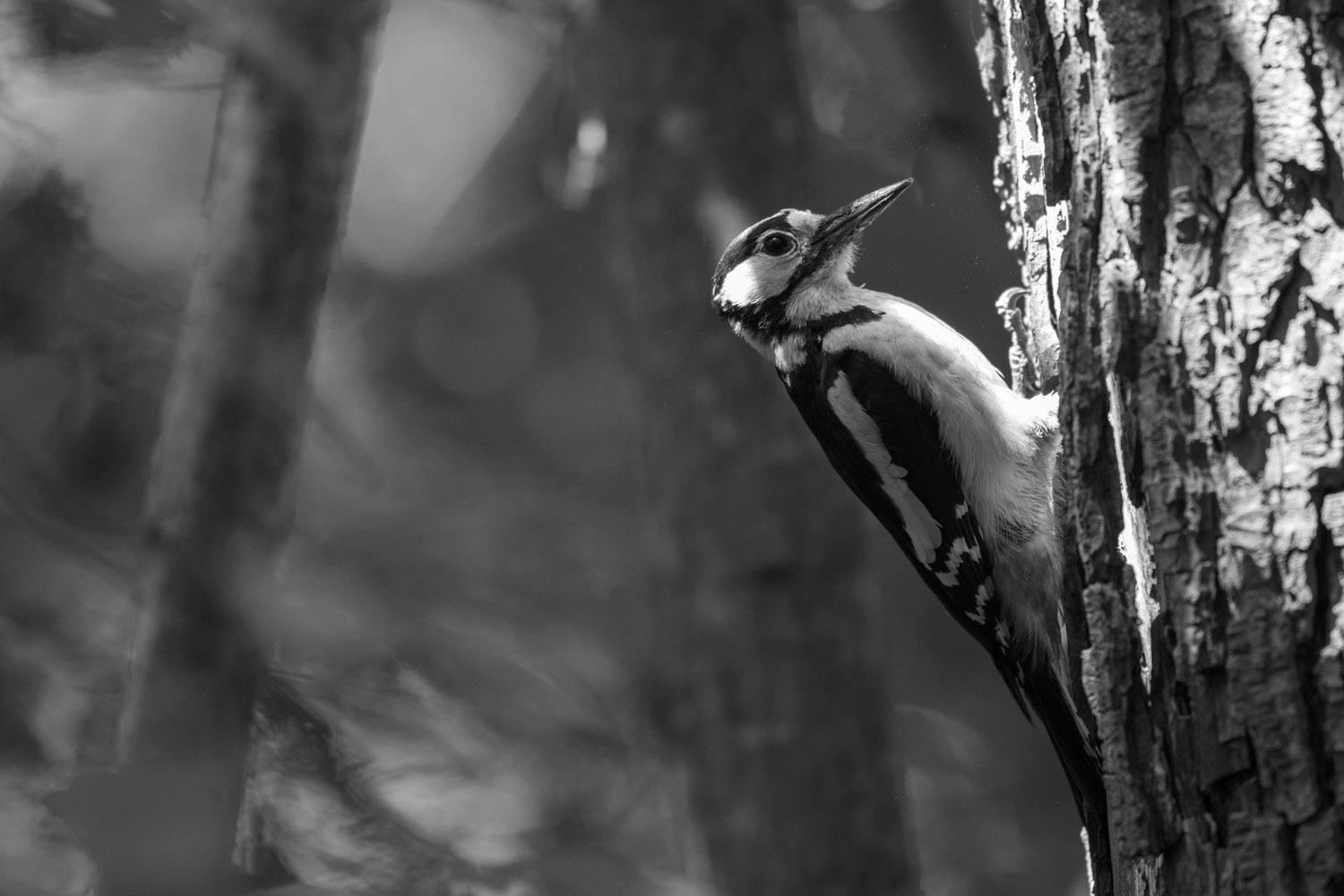 Great spotted woodpecker at nest hole, Sussex Weald, England
