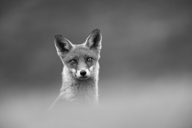 Red fox portrait, Ashdown Forest, Sussex Weald, England