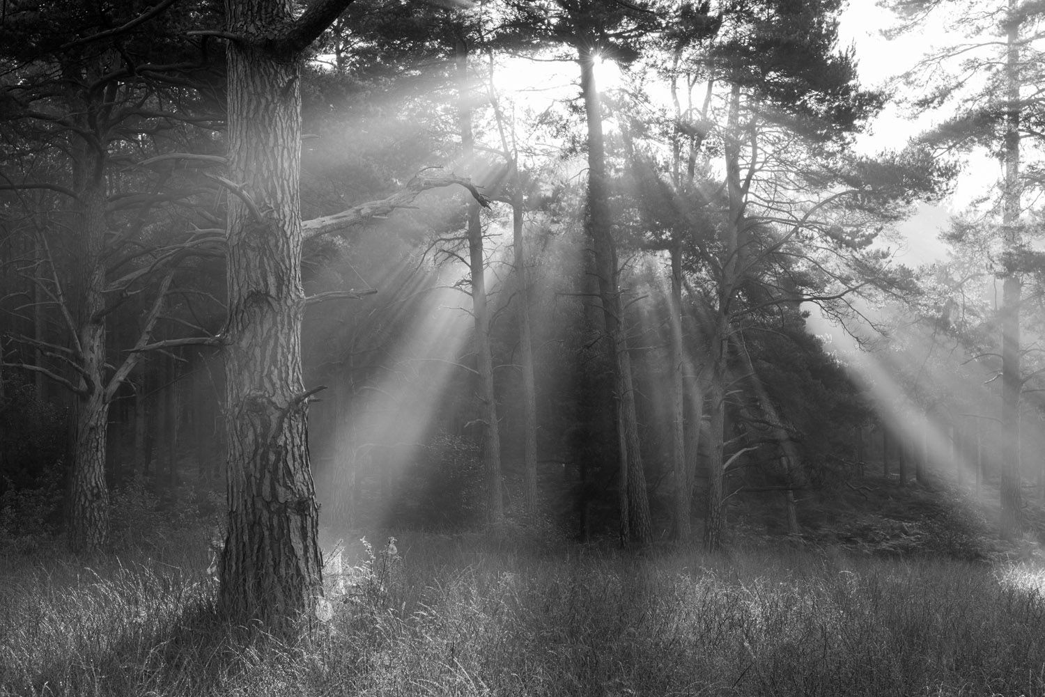 Morning sun breaking through Scots pine forest, Ashdown Forest, Sussex Weald, England