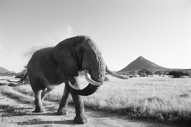 African bull elephant walking track at dawn, Samburu National Reserve, Kenya