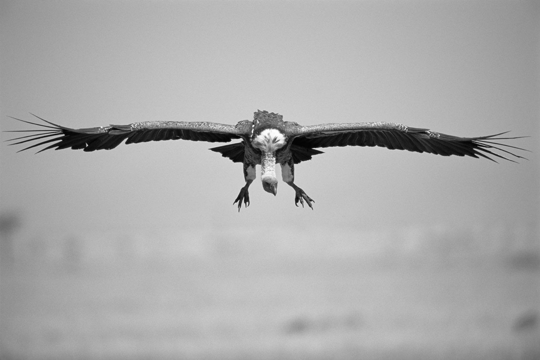 Rüppell's griffon vulture in flight, Masai Mara National Reserve, Kenya