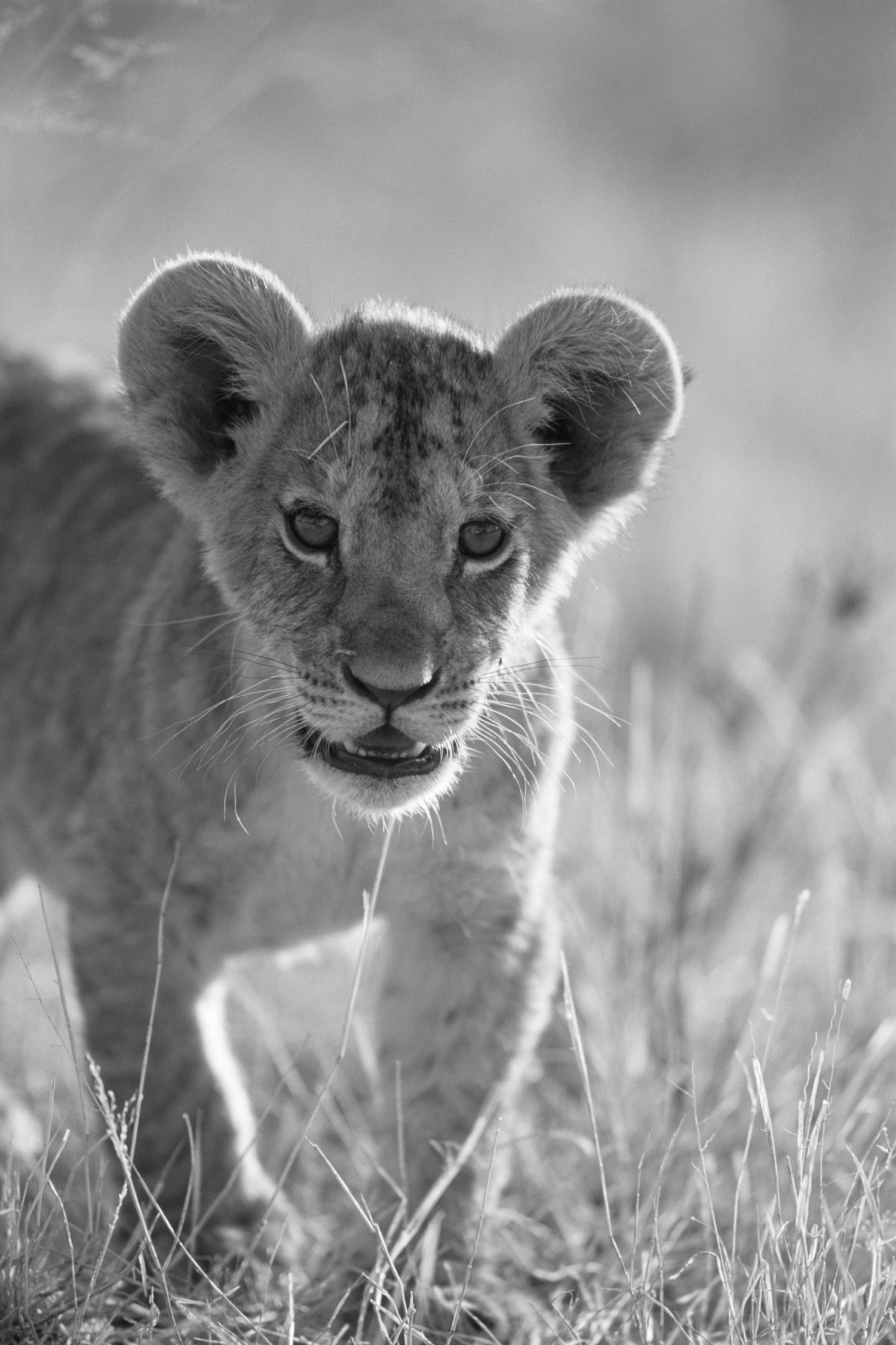Lion cub portrait, Samburu National Reserve, Kenya
