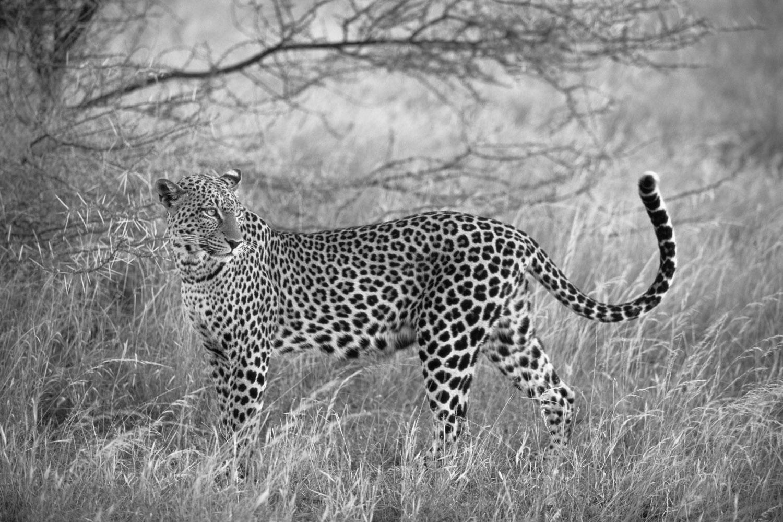 Leopard portrait at dusk, Samburu National Reserve, Kenya