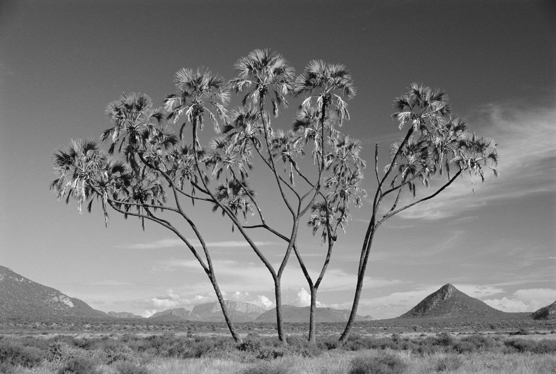 Doum palm and savannah, Samburu National Reserve, Kenya
