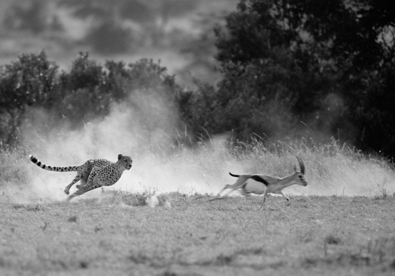 Cheetah hunting Thomson's gazelle, Masai Mara National Reserve, Kenya