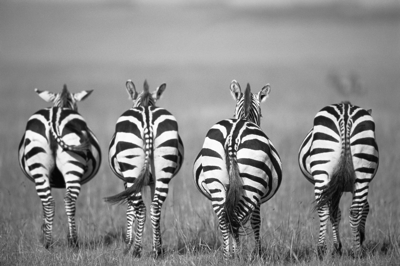Common zebra behinds, Masai Mara National Reserve, Kenya