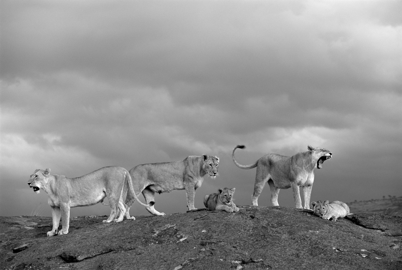 Lion pride on rock in storm light, Masai Mara National Reserve, Kenya