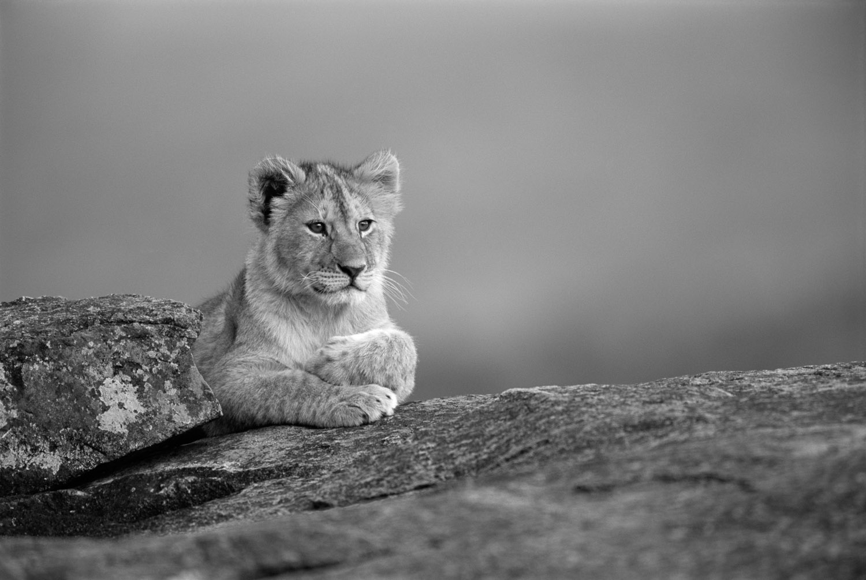 Lion cub resting on rock, Masai Mara National Reserve, Kenya