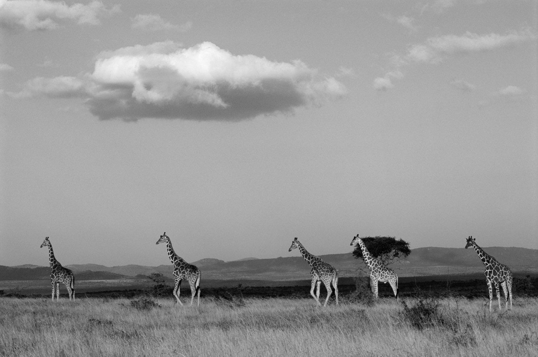 Reticulated giraffes in open savannah, Laikipia, Kenya