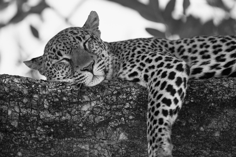 Leopard dozing in tree, Buffalo Springs National Reserve, Kenya