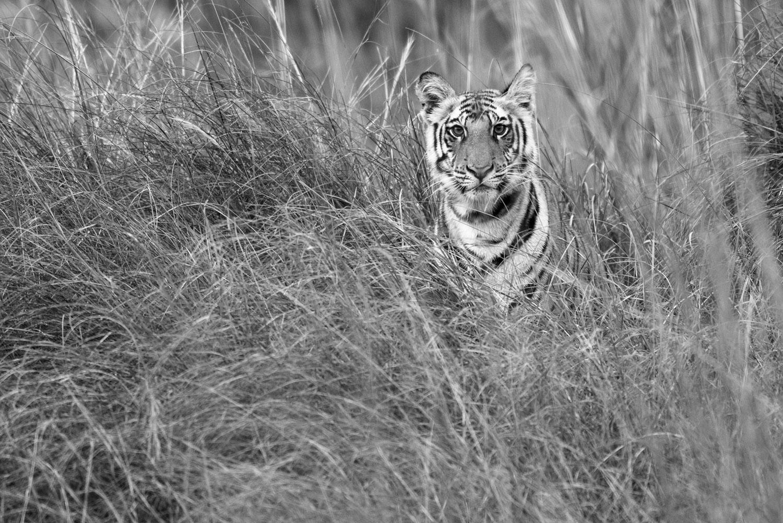 Bengal tiger cub in long grasses, Bandhavgarh National Park, Madhya Pradesh, India