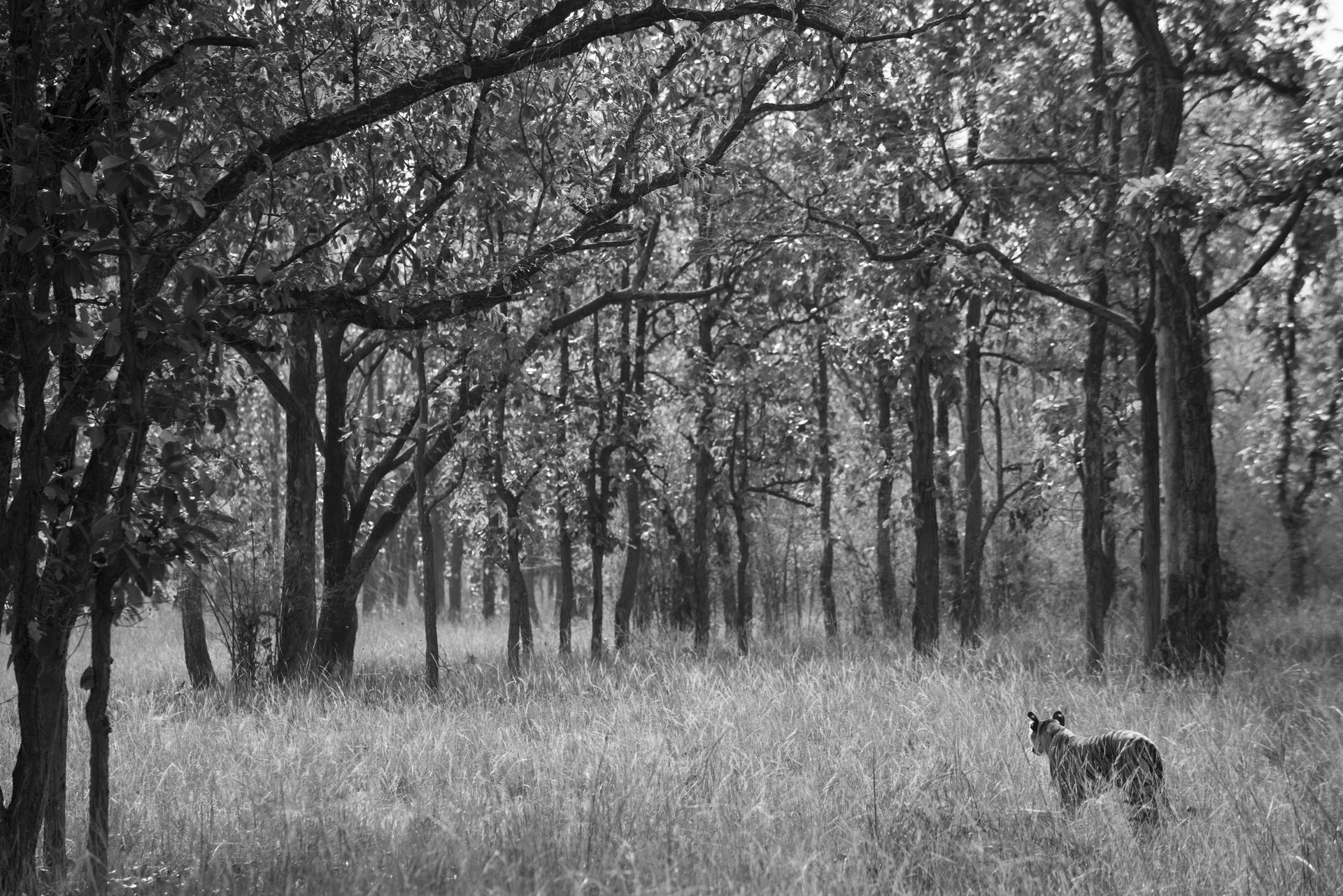 Bengal tigress in sal forest, Bandhavgarh National Park, Madhya Pradesh, India