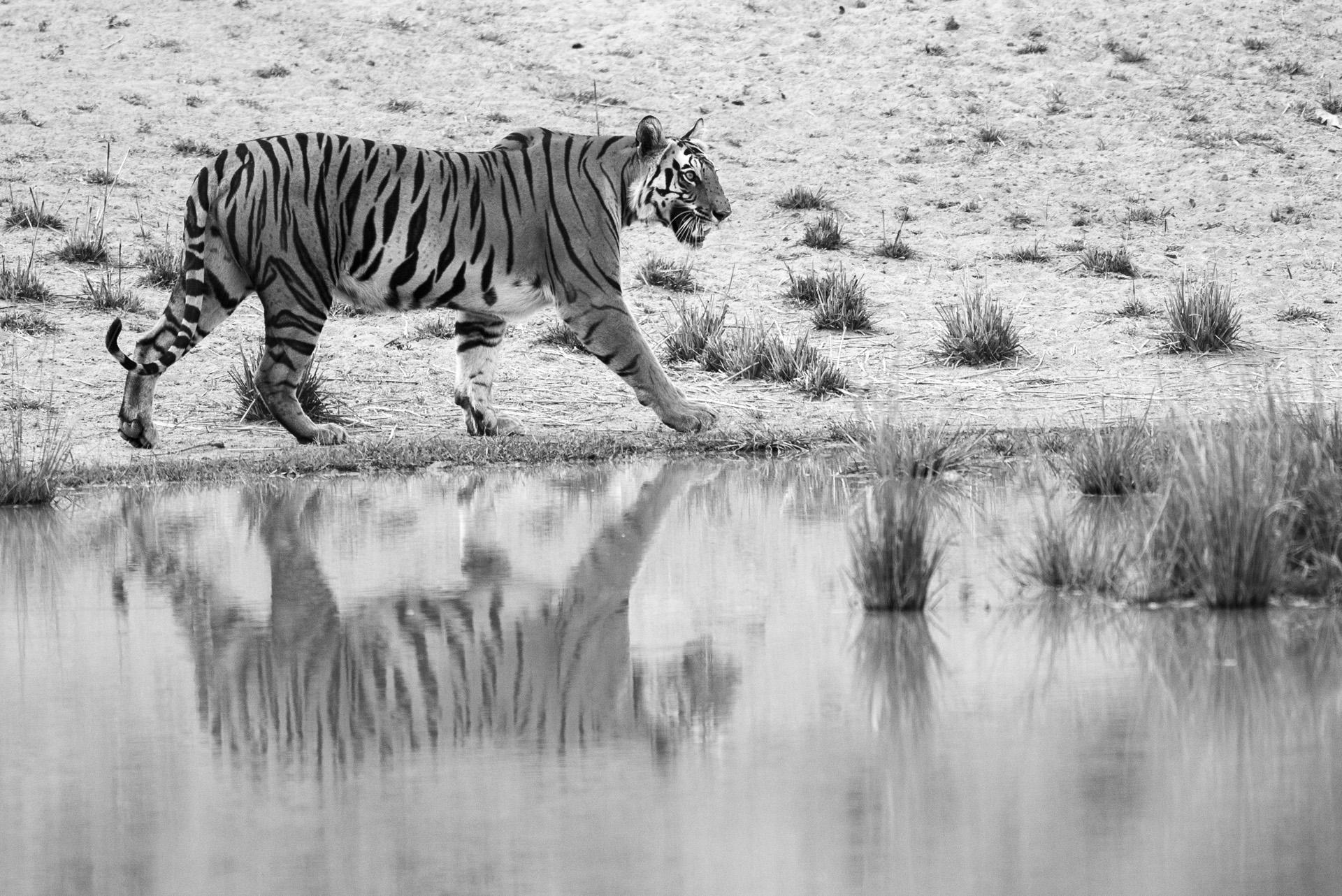 Bengal tigress walking along edge of pool, Bandhavgarh National Park, Madhya Pradesh, India