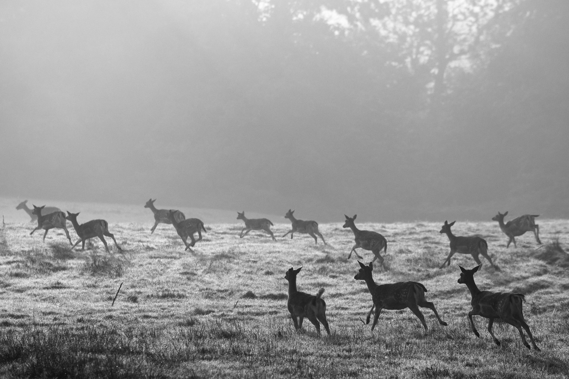 Fallow deer on the move across pasture at dawn, Ashdown Forest, Sussex, England