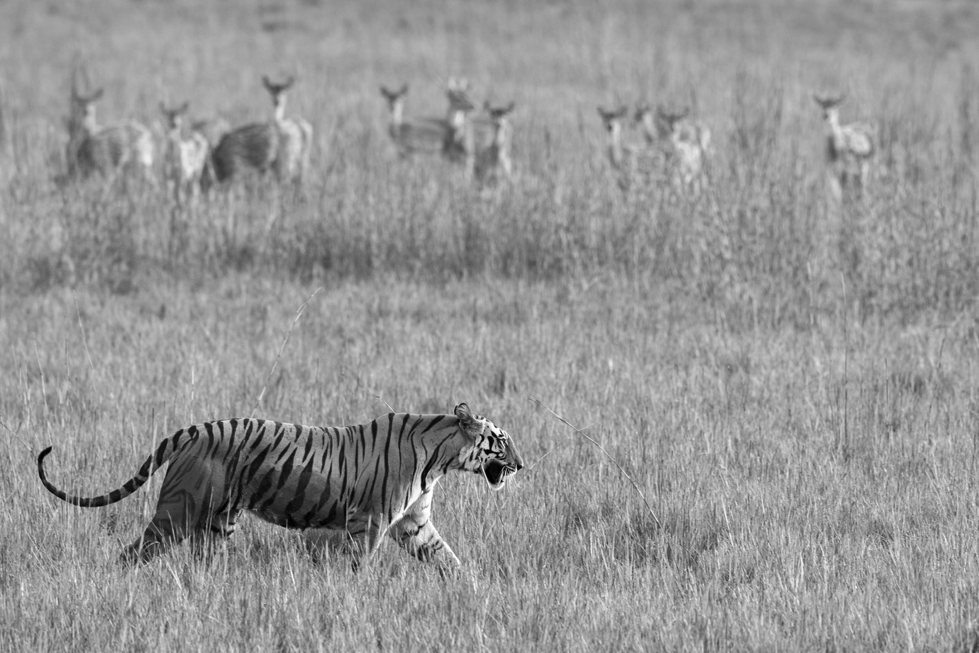 Bengal tigress being watched by chital/spotted deer while walking across meadow, Bandhavgarh National Park, Madhya Pradesh, India