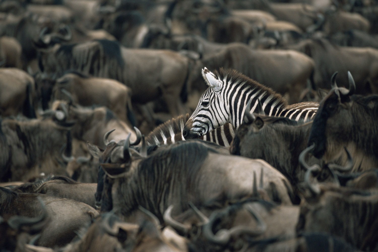 Common zebras amongst wildebeest herd, Masai Mara National Reserve, Kenya
