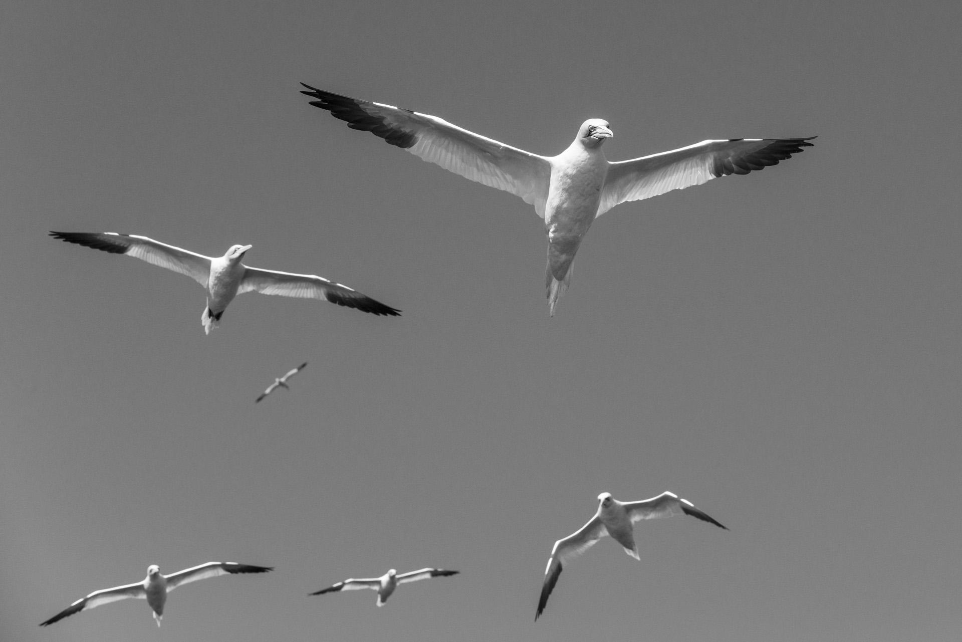 Northern gannets in flight, Noss National Nature Reserve, Noss, Shetland Islands, Scotland