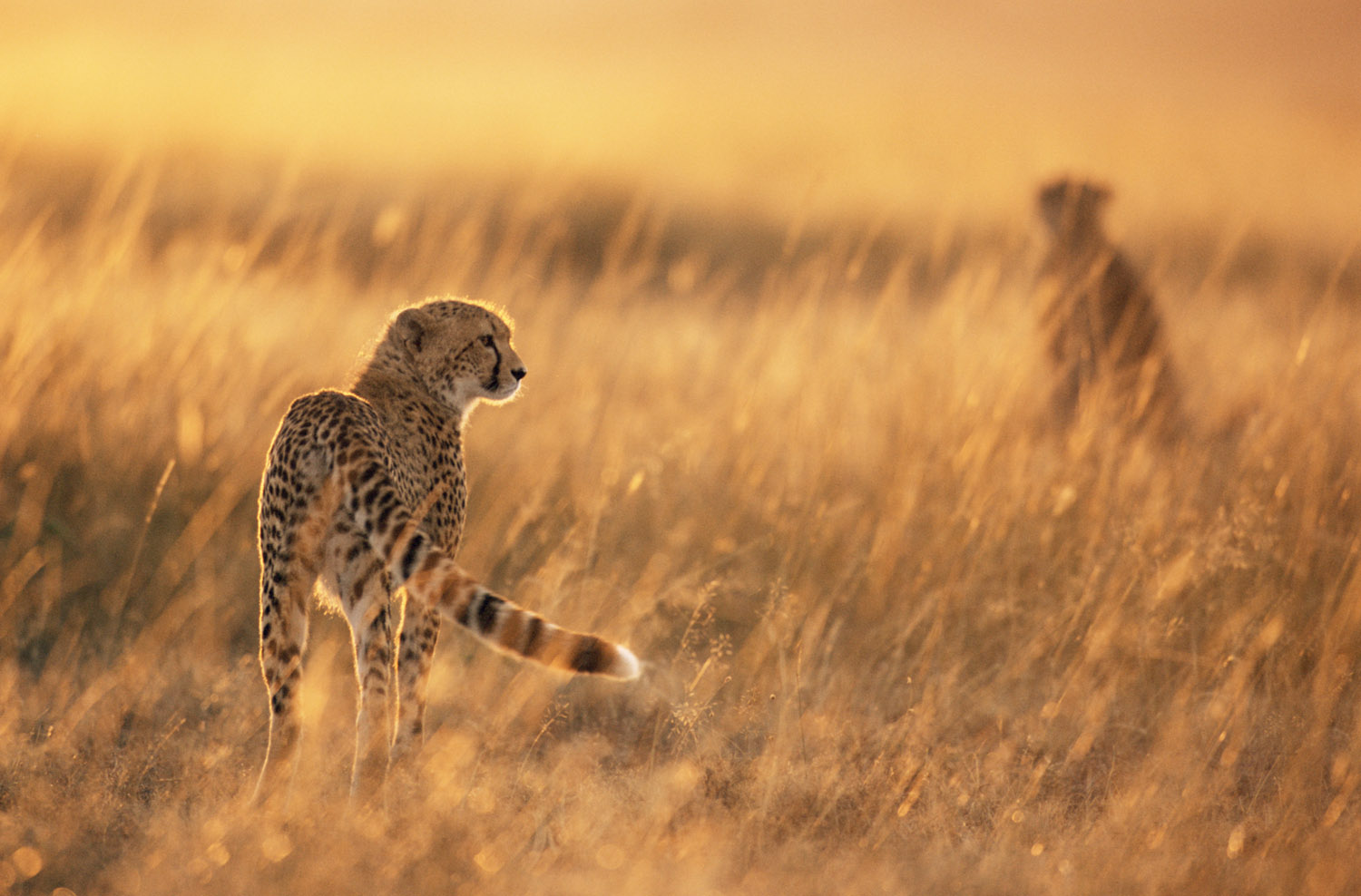 Cheetahs at sunrise, Masai Mara National Reserve, Kenya