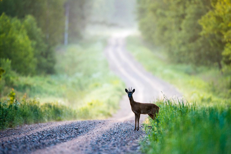 Roebuck on forest track at dawn, Tartu region, Estonia