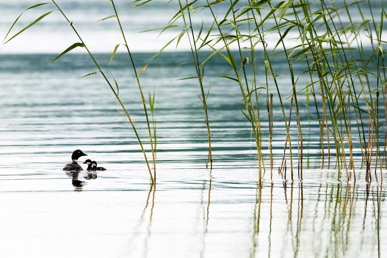 Goldeneye mother with chicks on lake, Tartu region, Estonia