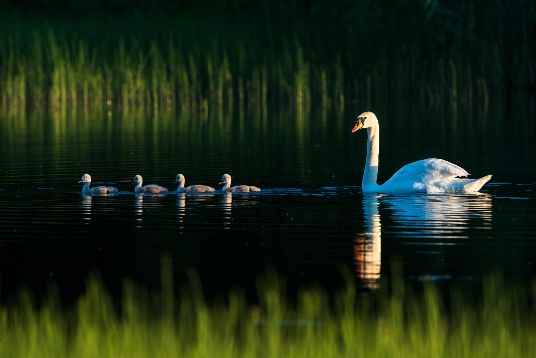 Mute swan with cygnets at edge of lake, Tartu region, Estonia