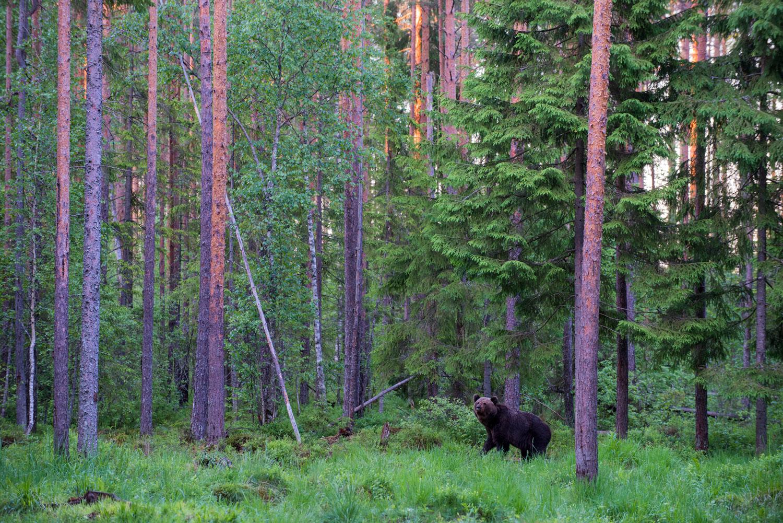 European brown bear in Scots pine forest at twilight, Ida-Viru region, Estonia
