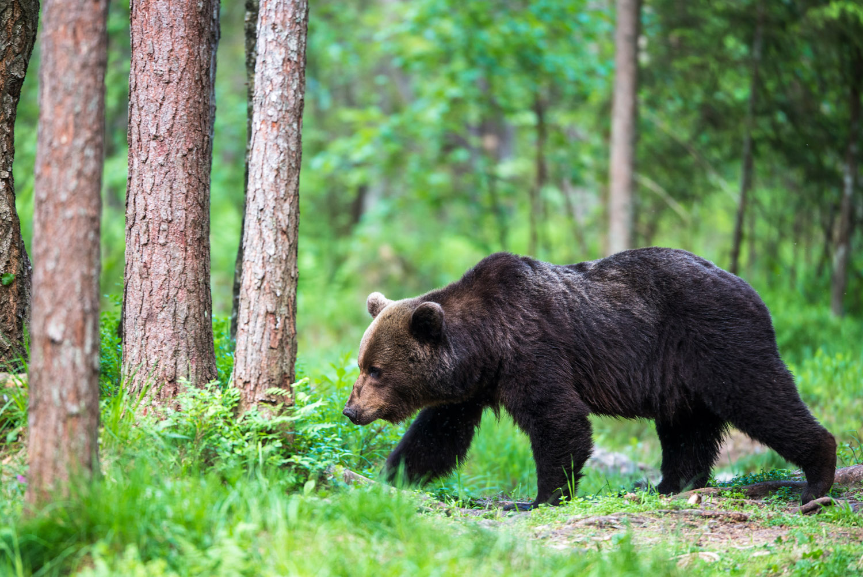 European brown bear walking through Scots pine forest, Ida-Viru region, Estonia