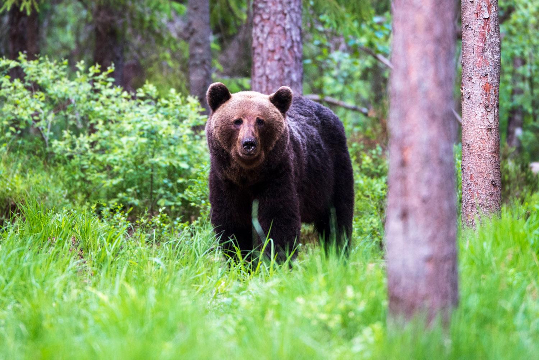 European brown bear in Scots pine forest, Ida-Viru region, Estonia