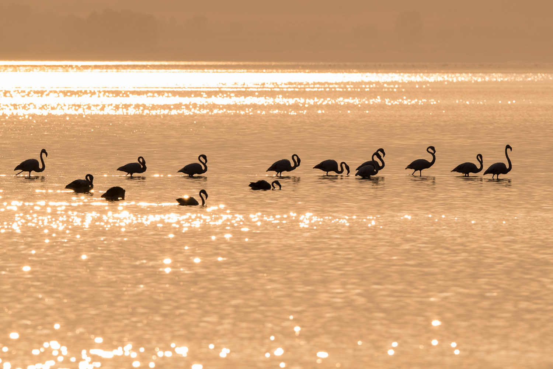 Greater flamingos at sunset, Lake Kerkini, Greece