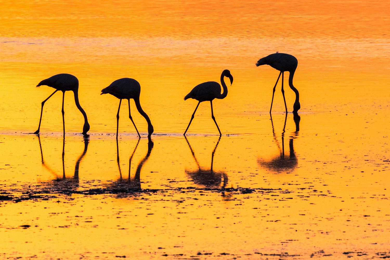 Greater flamingos feeding at sunset, Axios Delta National Park, Thessaloniki, Greece