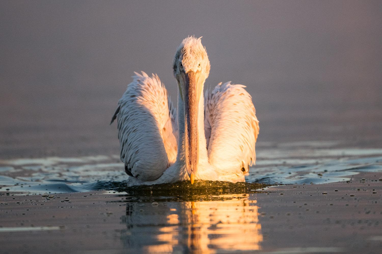 Dalmatian pelican, Lake Kerkini, Greece