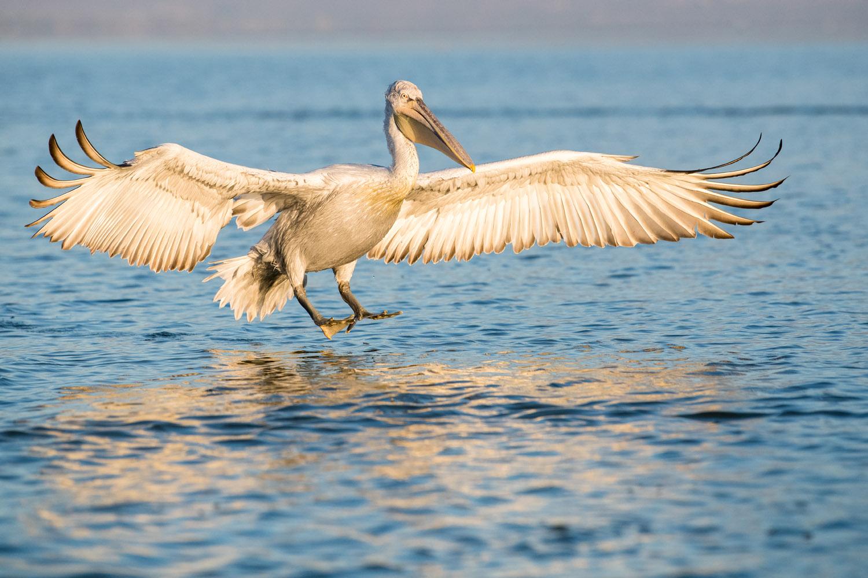 Dalmatian pelican landing, Lake Kerkini, Greece