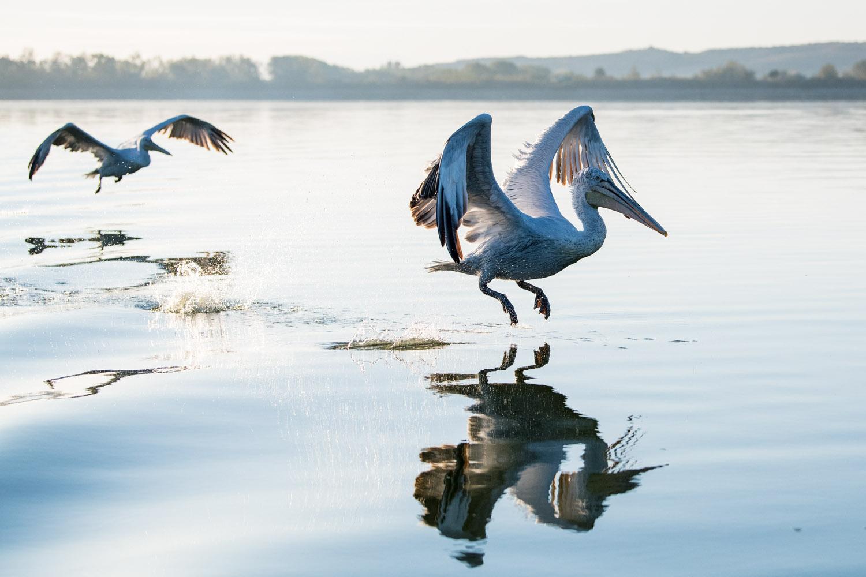 Dalmatian pelicans in flight, Lake Kerkini, Greece