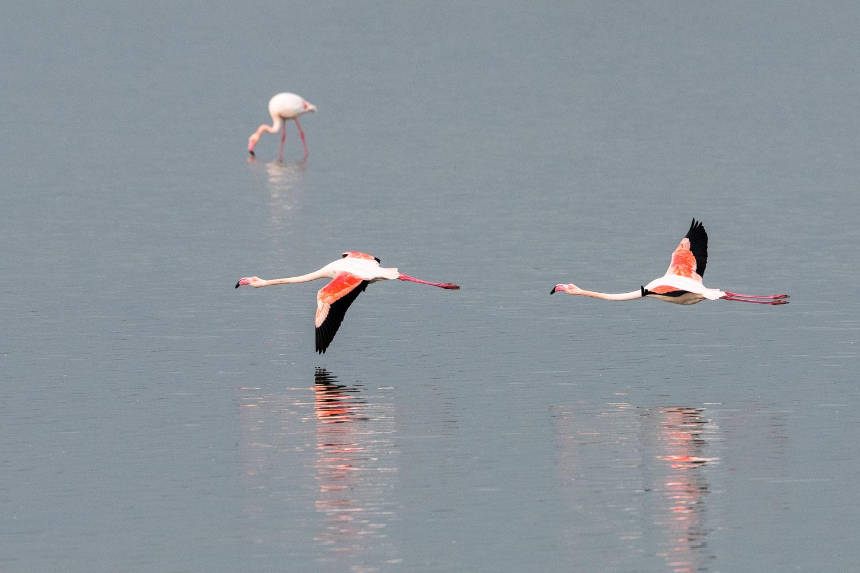 Greater flamingos in flight, Axios Delta National Park, Thessaloniki, Greece