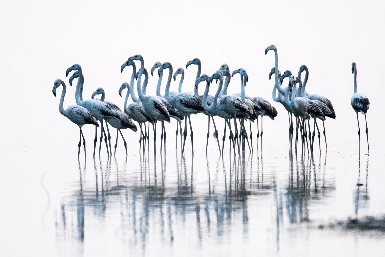Greater flamingos (juveniles), Lake Kerkini, Greece
