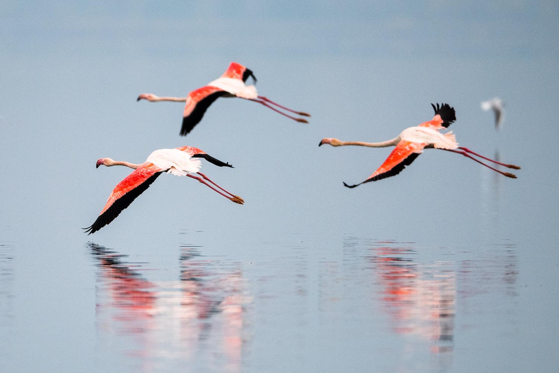 Greater flamingos in flight, Lake Kerkini, Greece