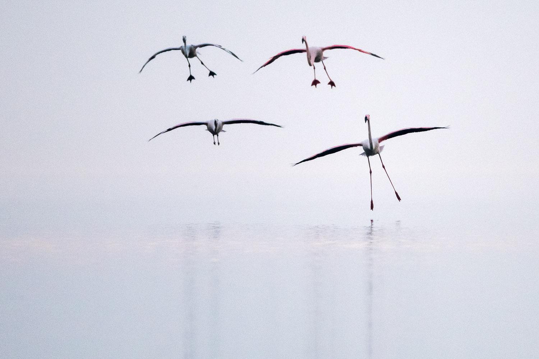 Greater flamingos landing, Lake Kerkini, Greece