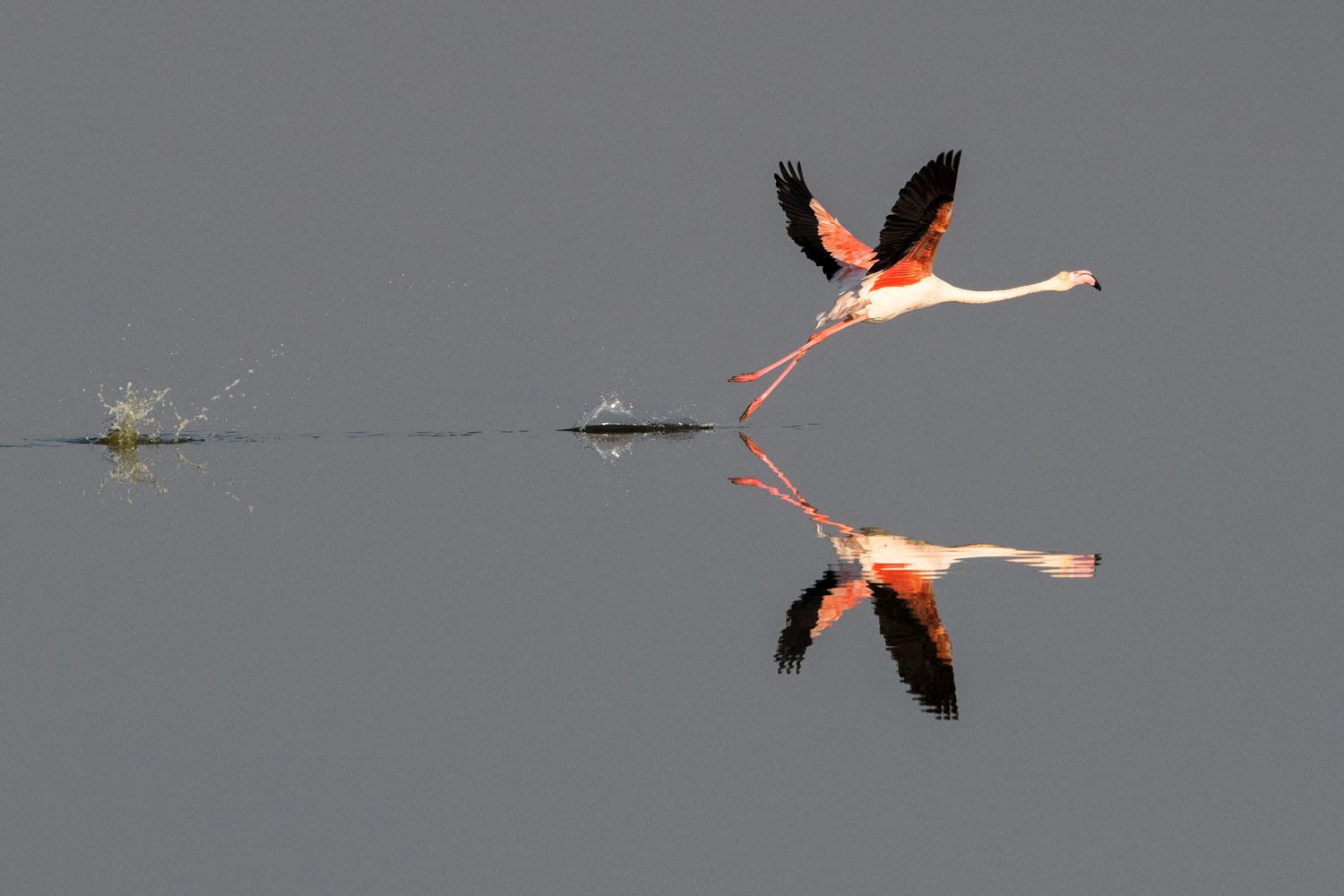 Greater flamingo taking off, Axios Delta National Park, Thessaloniki, Greece