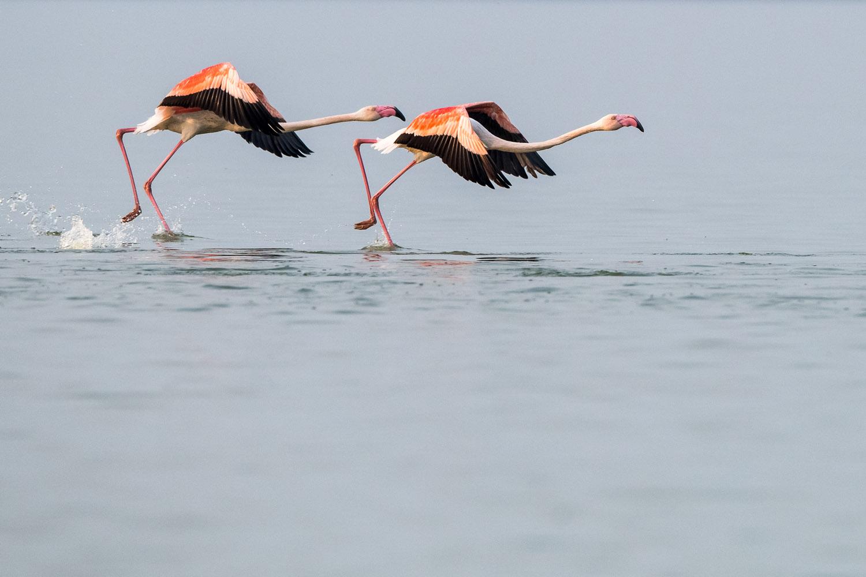 Greater flamingos taking off, Lake Kerkini, Greece