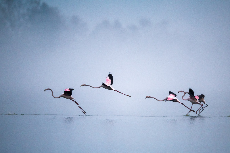 Greater flamingos landing at dawn, Lake Kerkini, Greece