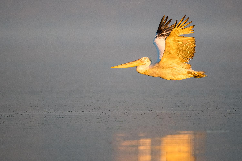 Dalmatian pelican in flight, Lake Kerkini, Greece