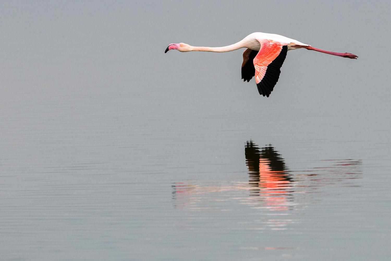 Greater flamingo in flight, Axios Delta National Park, Thessaloniki, Greece