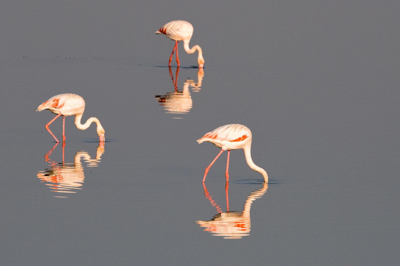 Greater flamingos feeding, Axios Delta National Park, Thessaloniki, Greece
