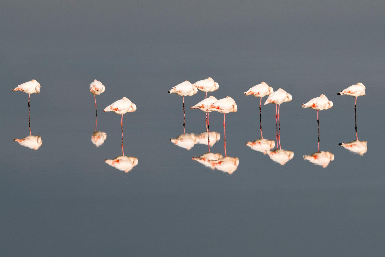 Greater flamingos sleeping, Axios Delta National Park, Thessaloniki, Greece